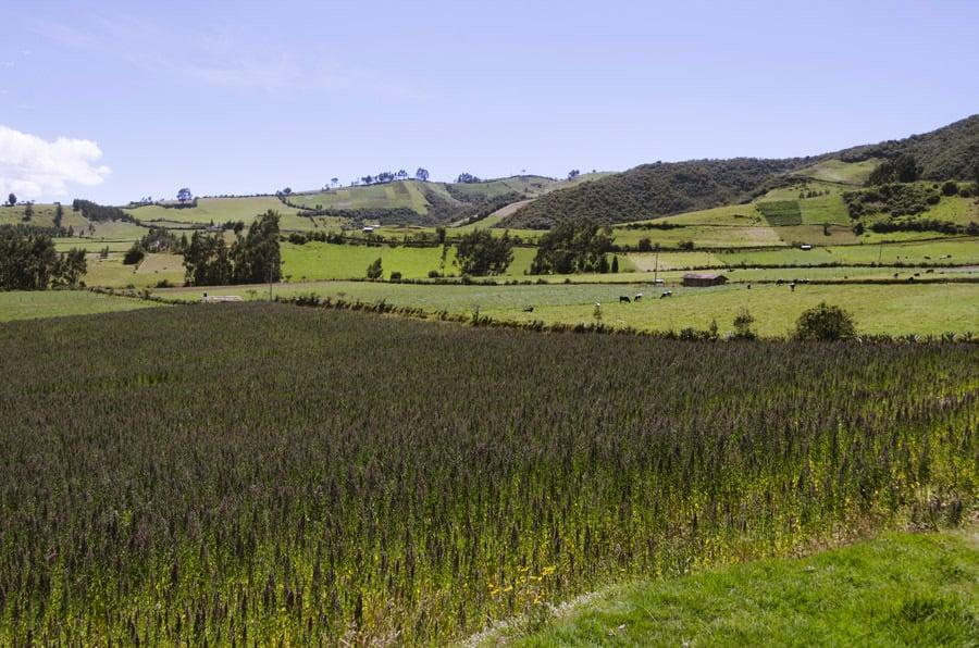 Cultivos de quinua en los Andes ecuatorianos
