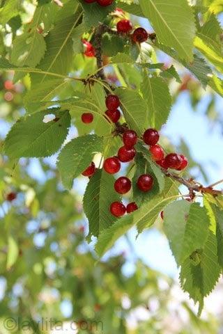 Cerejas selvagens maduras