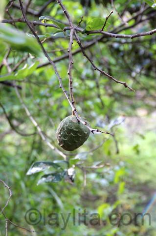 Cherimoya plant
