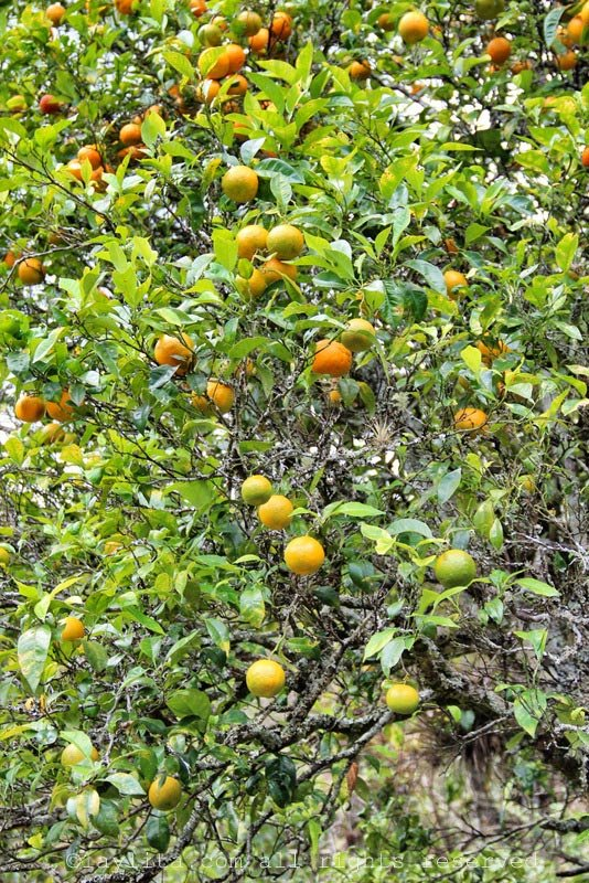 Naranja agria or sour orange tree in Ecuador