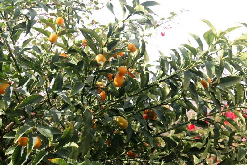 Citrus fruits growing in Tel Aviv
