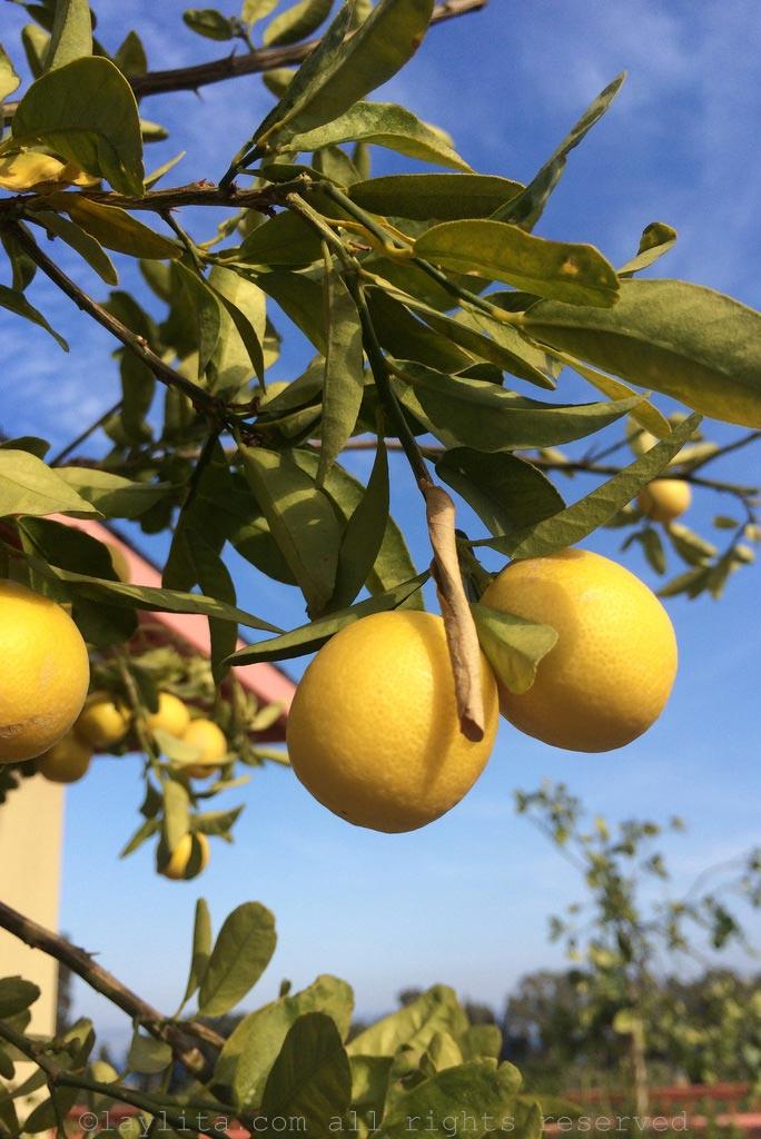 Limones en la region de Galilea