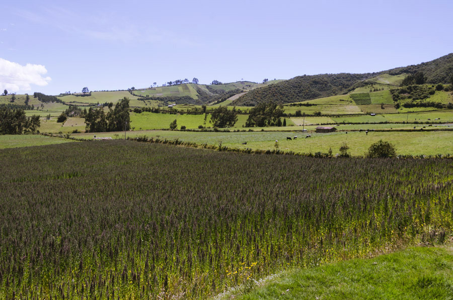 Quinoa fields in the Ecuadorian Andes