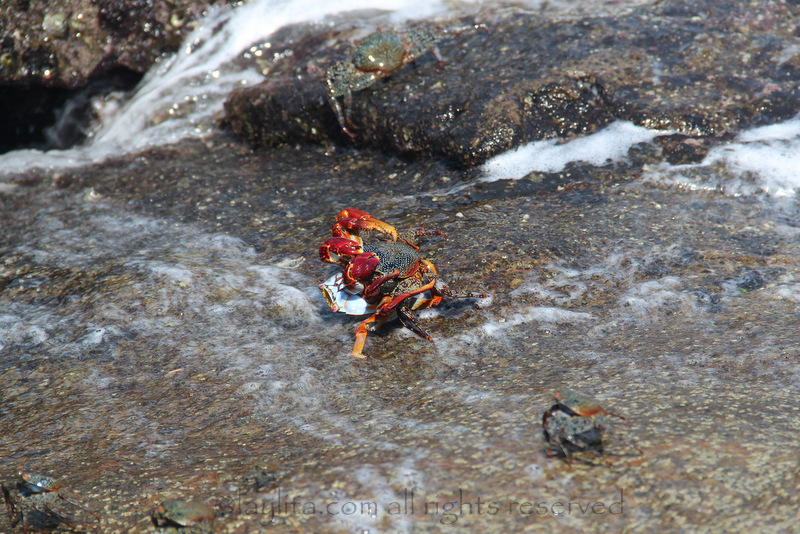 Crabs mating at Los Frailes beach