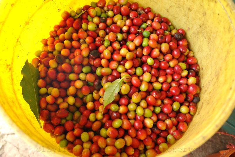 Ripe coffee beans in Vilcabamba (Loja, Ecuador)