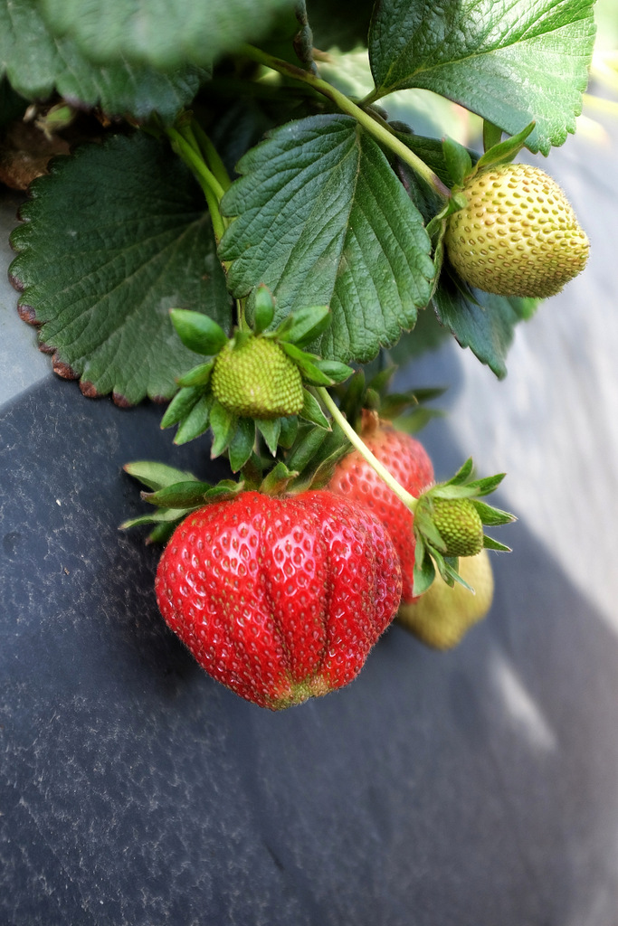 A delicious ripe strawberry