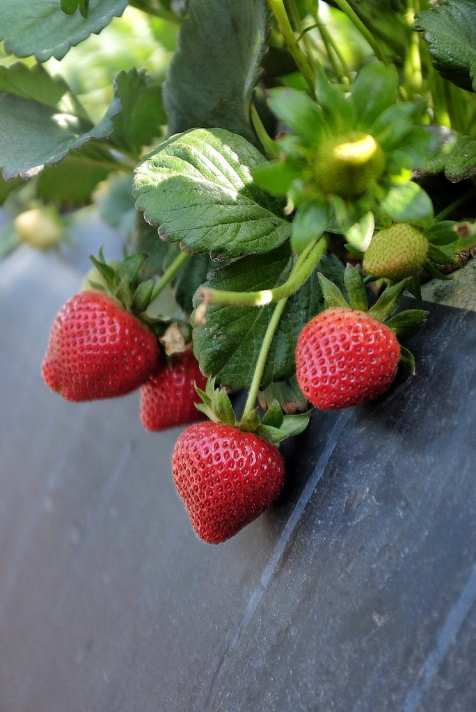 California strawberries at Terry Farms