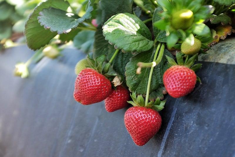 California strawberry farm visit
