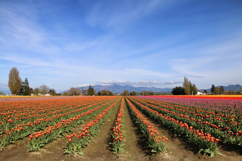Fields of tulips in Mt Vernon