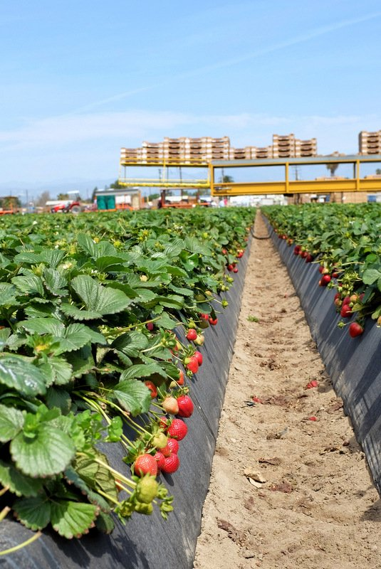 Picking ripe strawberries in California