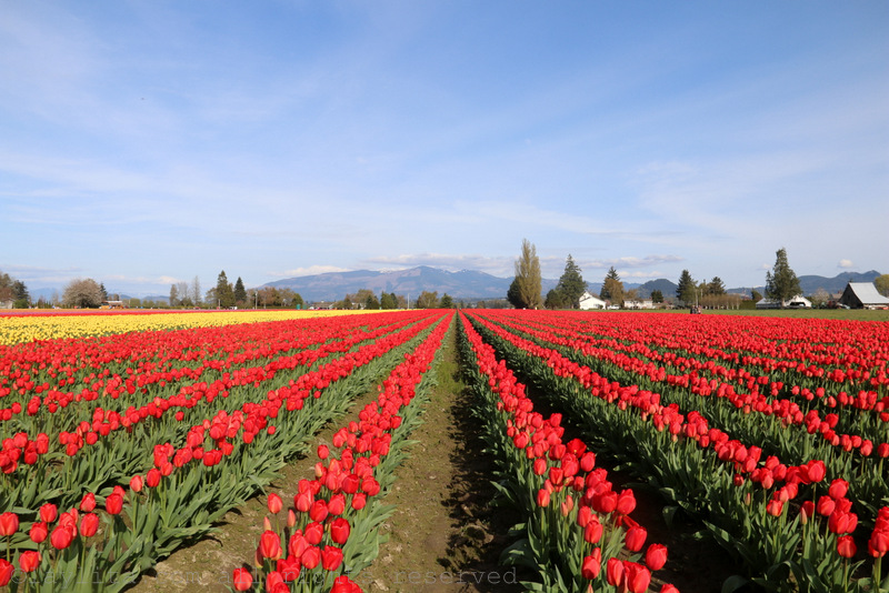 Skagit Valley Tulip Festival in Mt Vernon (WA)