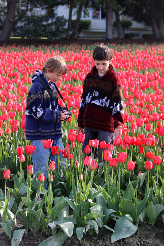 Taking photos of tulips at the Skagit Valley tulip festival