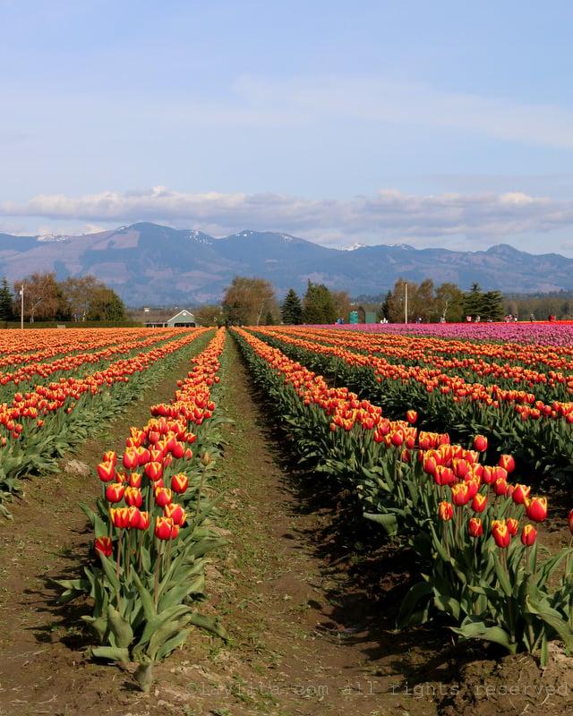 Tulip festival in the Skagit Valley - Washington