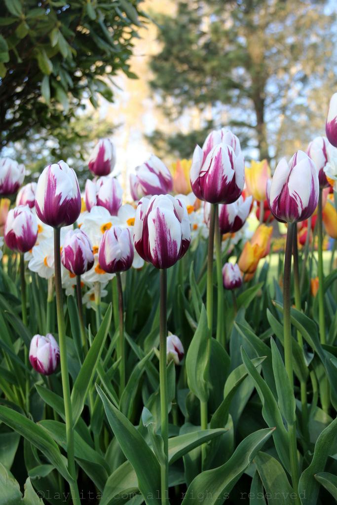 Tulips at the Mt Vernon tulip farm RoozenGaarde