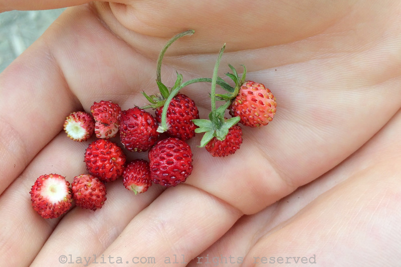 Picking wild alpine strawberries