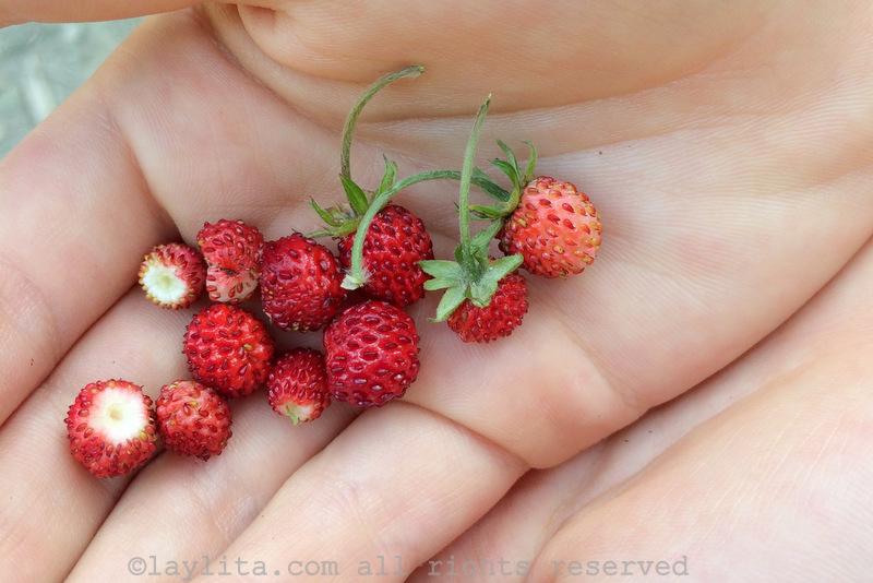 Picking wild alpine strawberries
