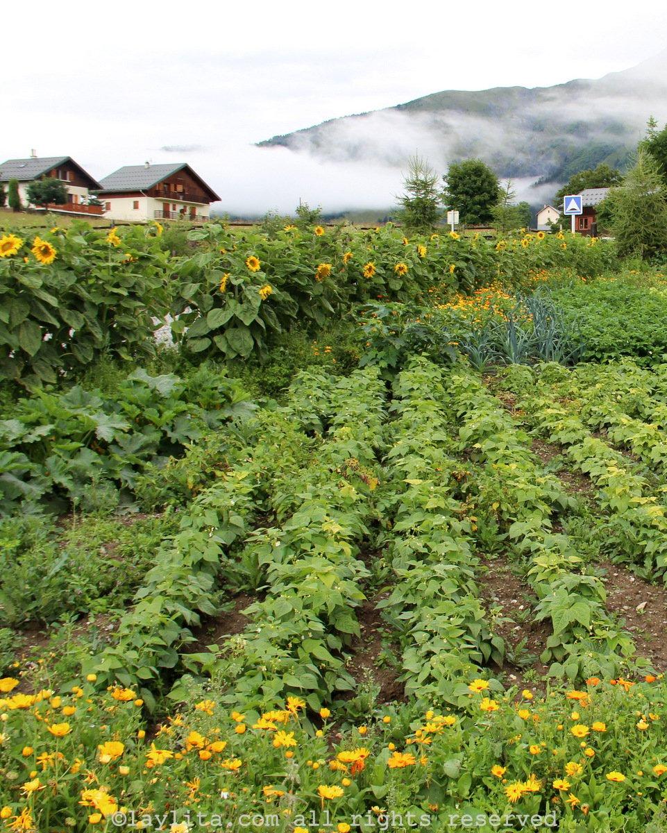 Vegetable garden in the Alps