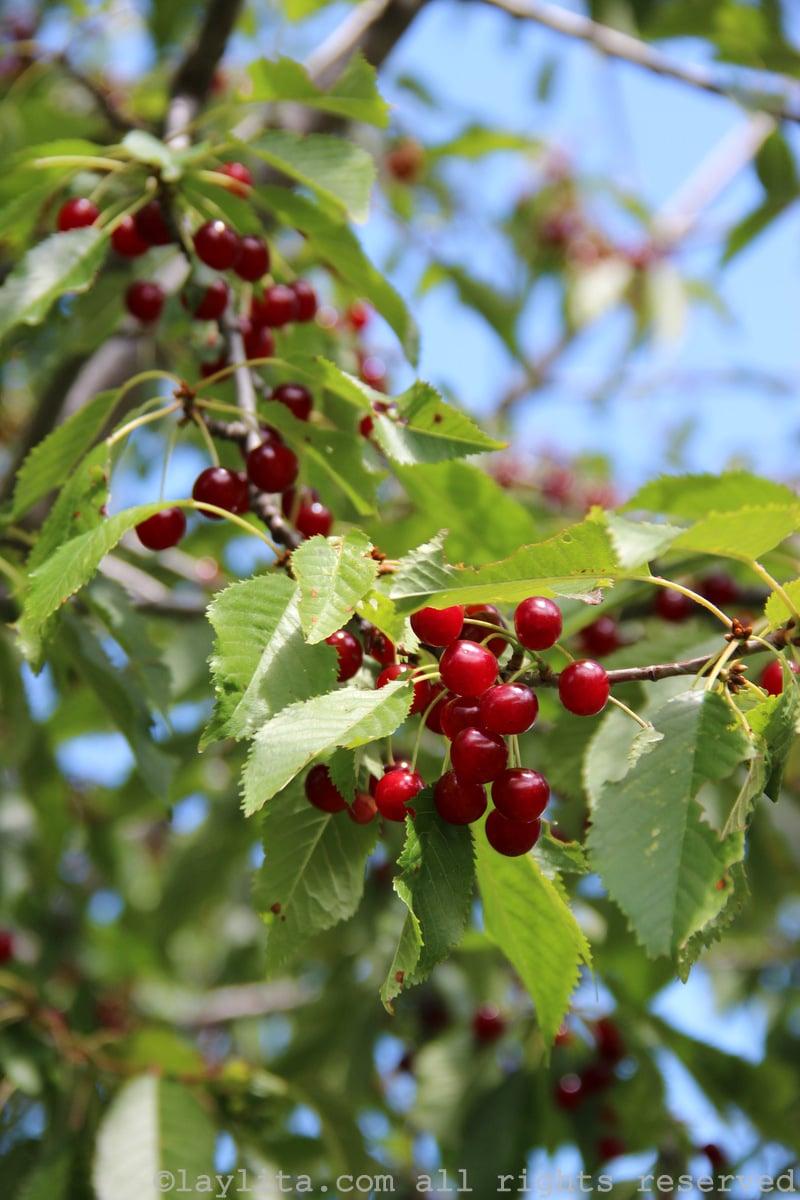 Wild cherries in the Alps